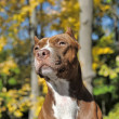 Brown pitbull — Stock Photo #39695625