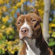 Brown pitbull — Stock Photo #39695635