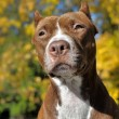 Brown pitbull — Stock Photo #39695639