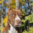 Brown pitbull — Stock Photo #39695645