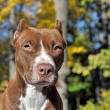 Brown pitbull — Stock Photo #39695667