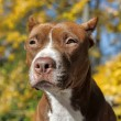 Brown pitbull — Stock Photo #39695679