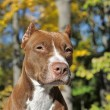 Brown pitbull — Stock Photo #39695693