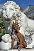 Pitbull near lion — Stockfoto