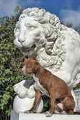 Pitbull near lion — 图库照片