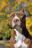 Hnědá pitbull — Stock fotografie