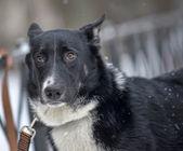 Perro en plomo — Foto de Stock