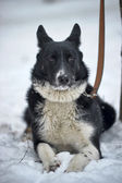 Dog on lead — Stock Photo