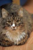 Gato listrado — Fotografia Stock