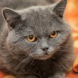 Stock Photo: Gray cat