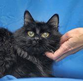 在蓝色的华丽蓬松黑猫. — 图库照片