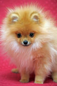 ポメラニアン犬 — ストック写真