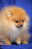 Pomeranian hund — Stockfoto