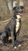 Black and white crossbreed dog purebred — Stockfoto