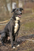 Black and white crossbreed dog purebred — Stok fotoğraf