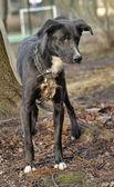 Black and white crossbreed dog purebred — Stock Photo