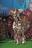クローズ アップで、かわいいダルメシアン犬の肖像画. — ストック写真