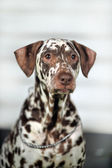 Portrait of a cute little Dalmatian dog in close-up. — Stock Photo