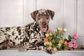 Dalmatian with a bouquet of roses — Stock Photo