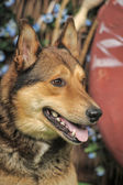 Brown dog — Stock Photo