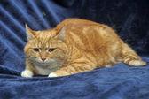 Gato assustado sobre um fundo azul — Fotografia Stock