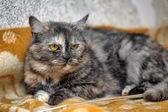 Striped cat — ストック写真