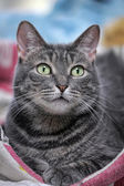 Grey cat — Stock Photo