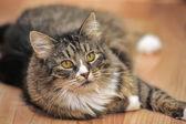 Lying cat — Foto de Stock