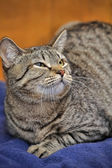 Angry Tabby Cat — Stock Photo
