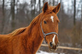 A close-up photo of a brown horse. — Stock Photo