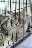 Cat Maine Coon at international exhibition — Stock Photo