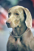 A beautiful Weimaraner dog head portrait — Stock Photo