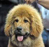 Tibetan mastiff puppy — Stock Photo