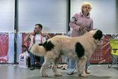 Exposición internacional canina de primavera petersburg - 2014. — Foto de Stock