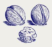 Walnut sketch — Stock Photo