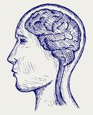 Human brain and head — Stock Vector