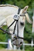 Beautiful Arab horse — Stockfoto
