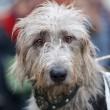 Stock Photo: Inquisitive grey wolfhound