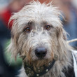 Inquisitive grey wolfhound — Stock Photo