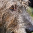 Portrait of a wolfhound — Stock Photo