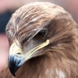 Closeup portrait of an eagles head — Stock Photo