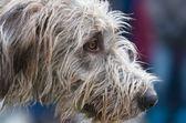 Portret profil wilczarz — Zdjęcie stockowe