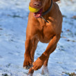 Magyar vizslrunning with ball — Stock Photo #19747647