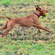 Magyar vizsla dog running with a ball — Stock Photo #19747655