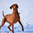 Magyar vizsla waiting in anticipation - Stock Photo
