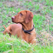 Portrait of a Magyar vizsla dog - Stock Photo