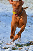 Magyar vizsla running with a ball — Stock Photo