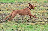 Magyar vizsla dog running with a ball — Stock Photo