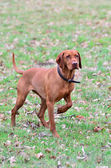 Magyar vizsla dog hunting — Stock Photo