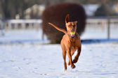 Running Magyar vizsla with a ball in its mouth — Stock Photo